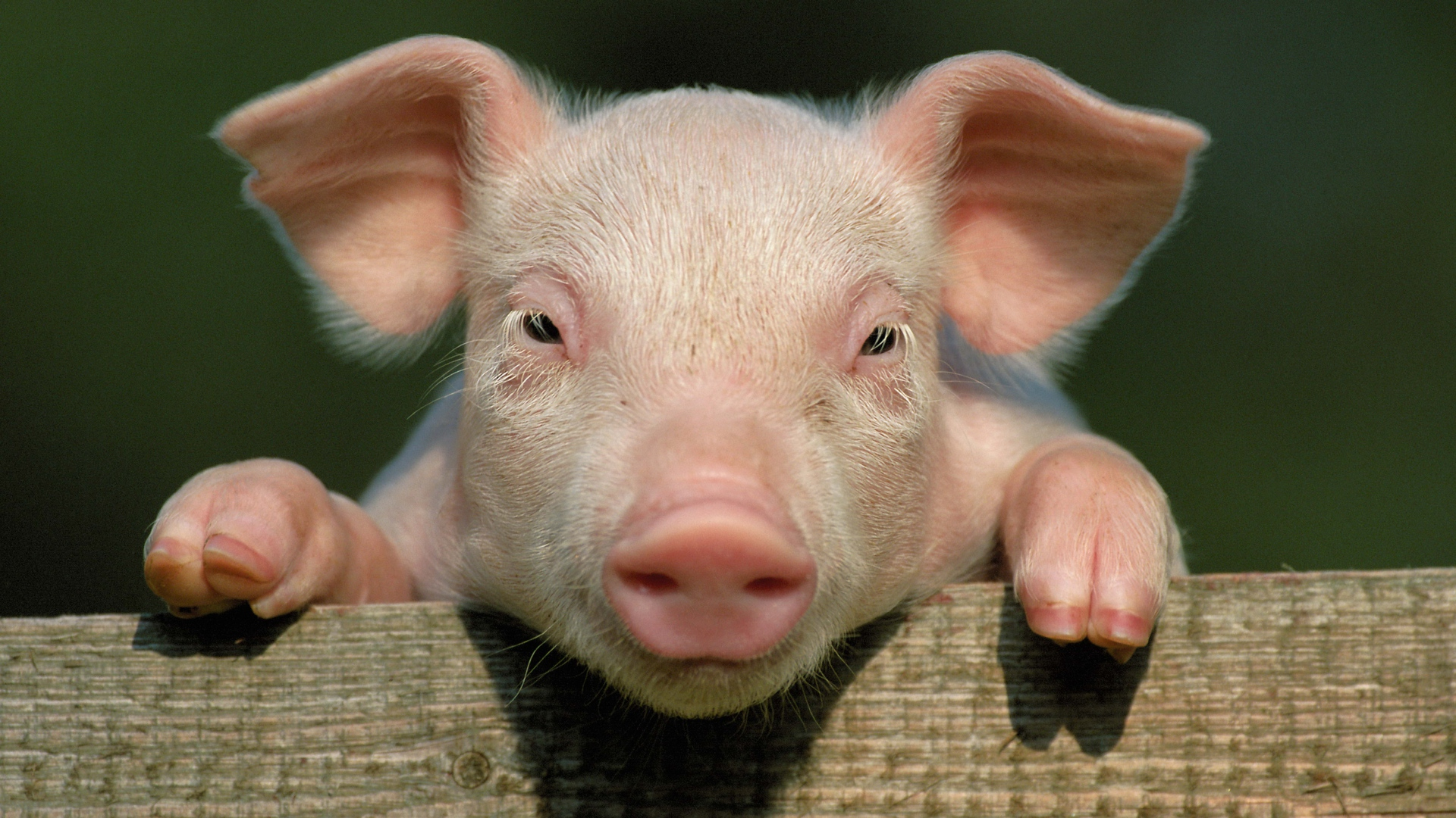Drunk farmer 'starts fight with his own pig but dies after having ...
